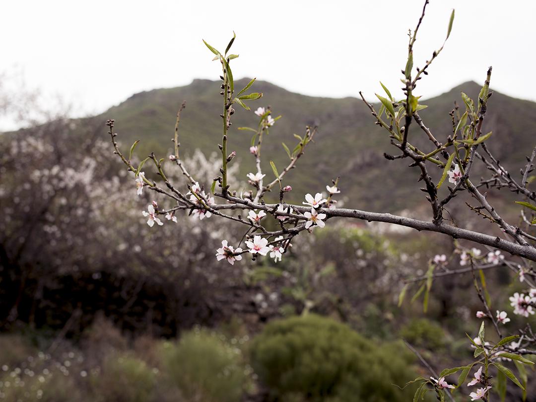 almond tree brunch flowers
