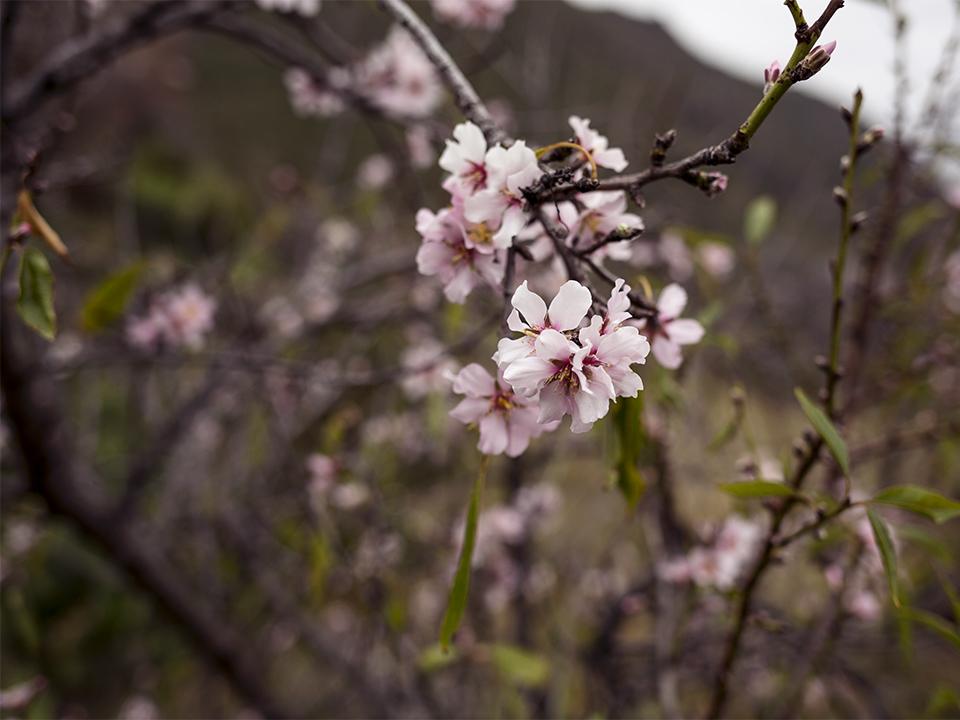 almond tree flowers tenerife
