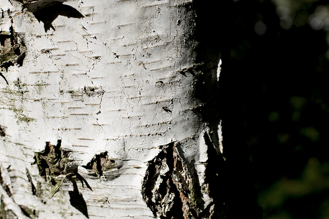 birke wald spaziergang