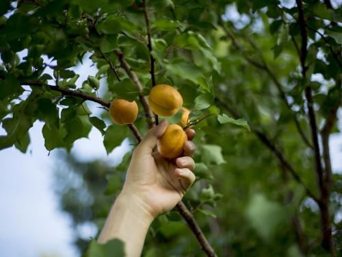 hand aprikose