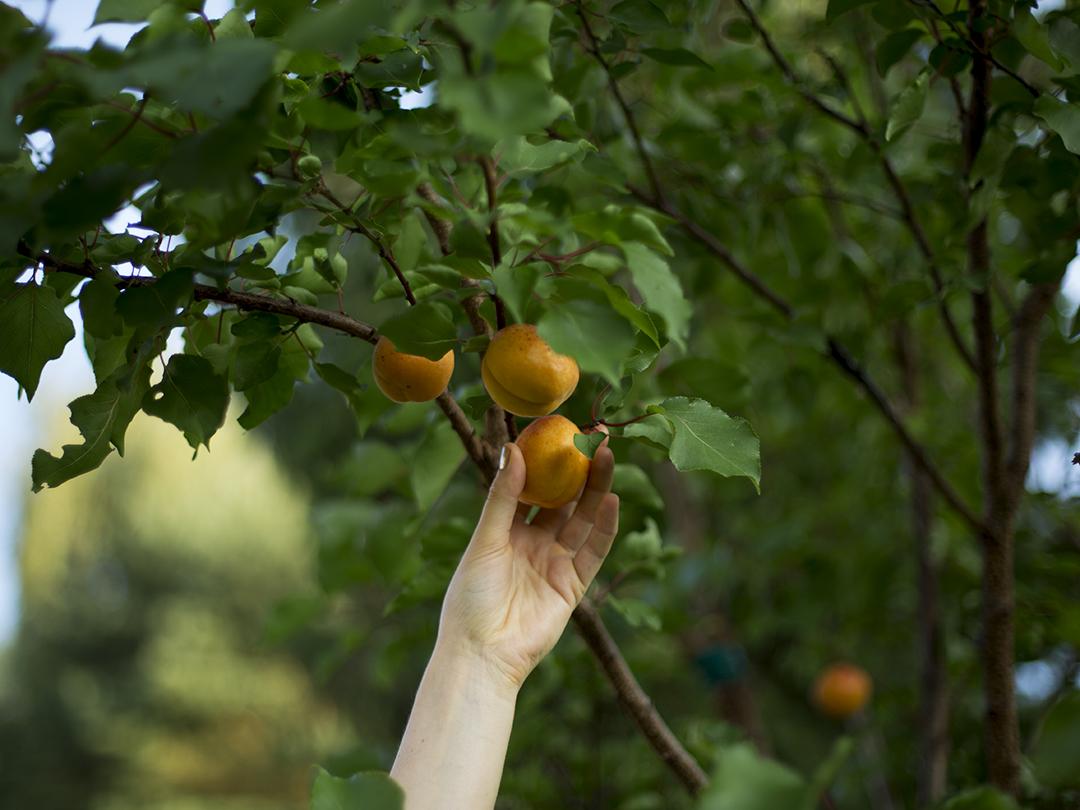 hand aprikose ernten