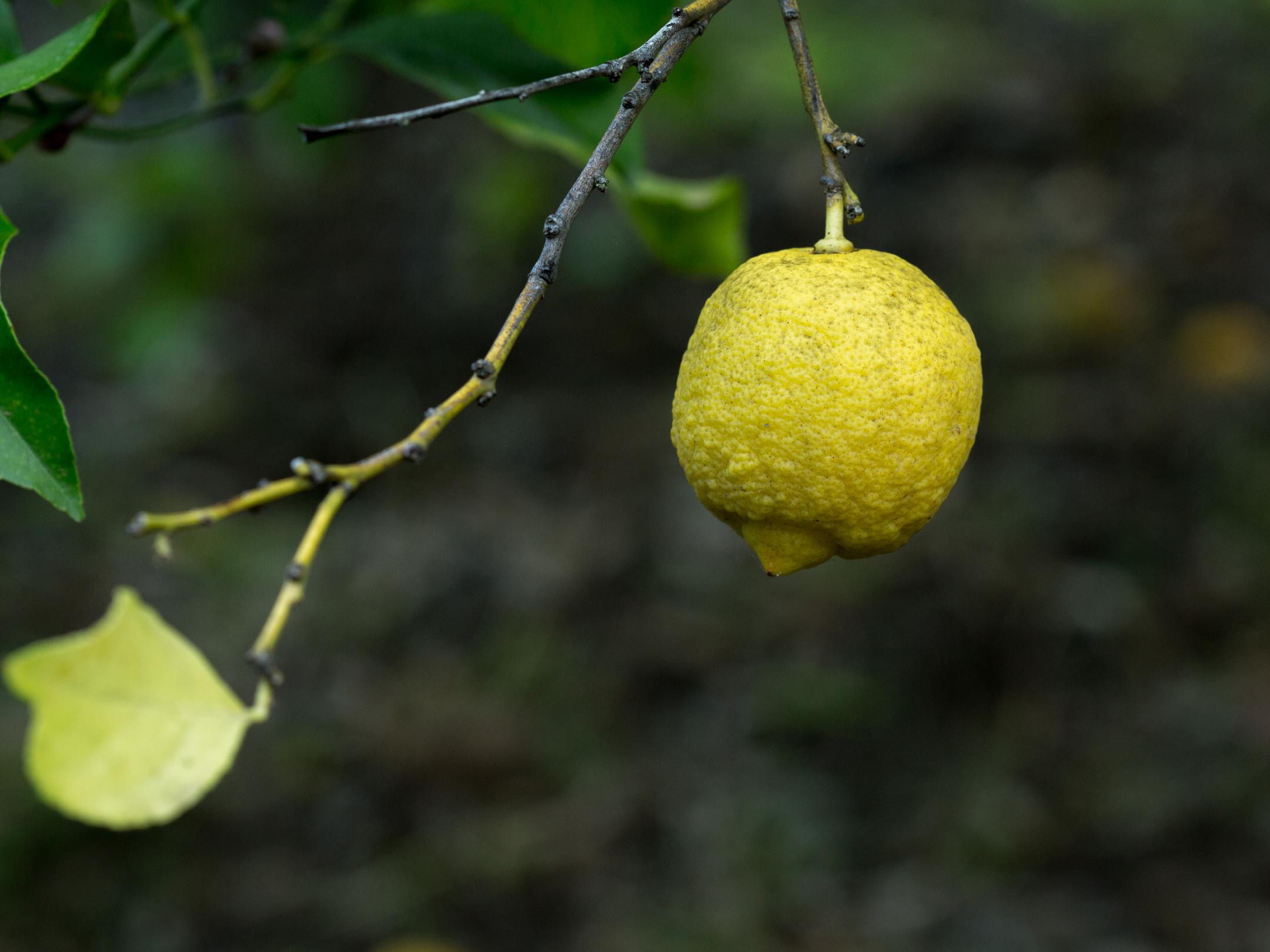 кака растет лимон