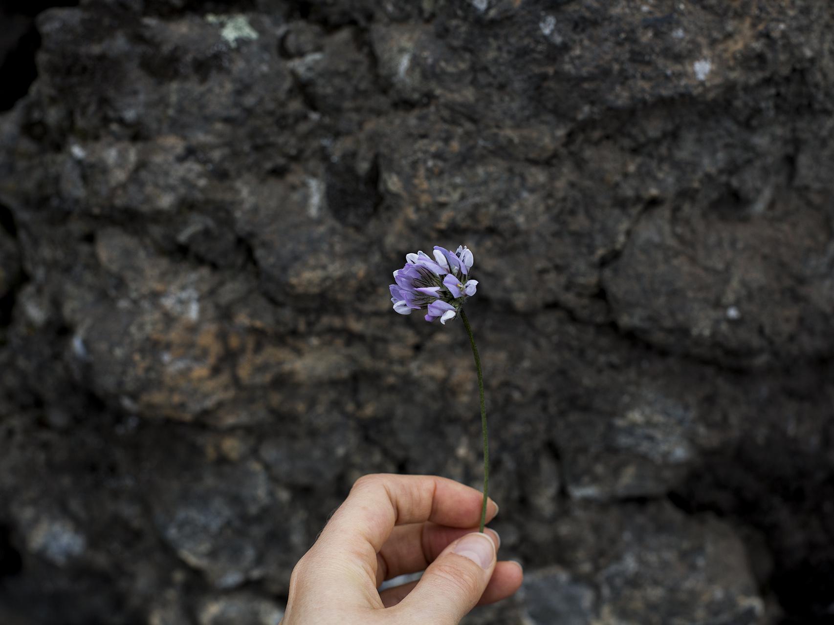 lilac flower hike teneriffe