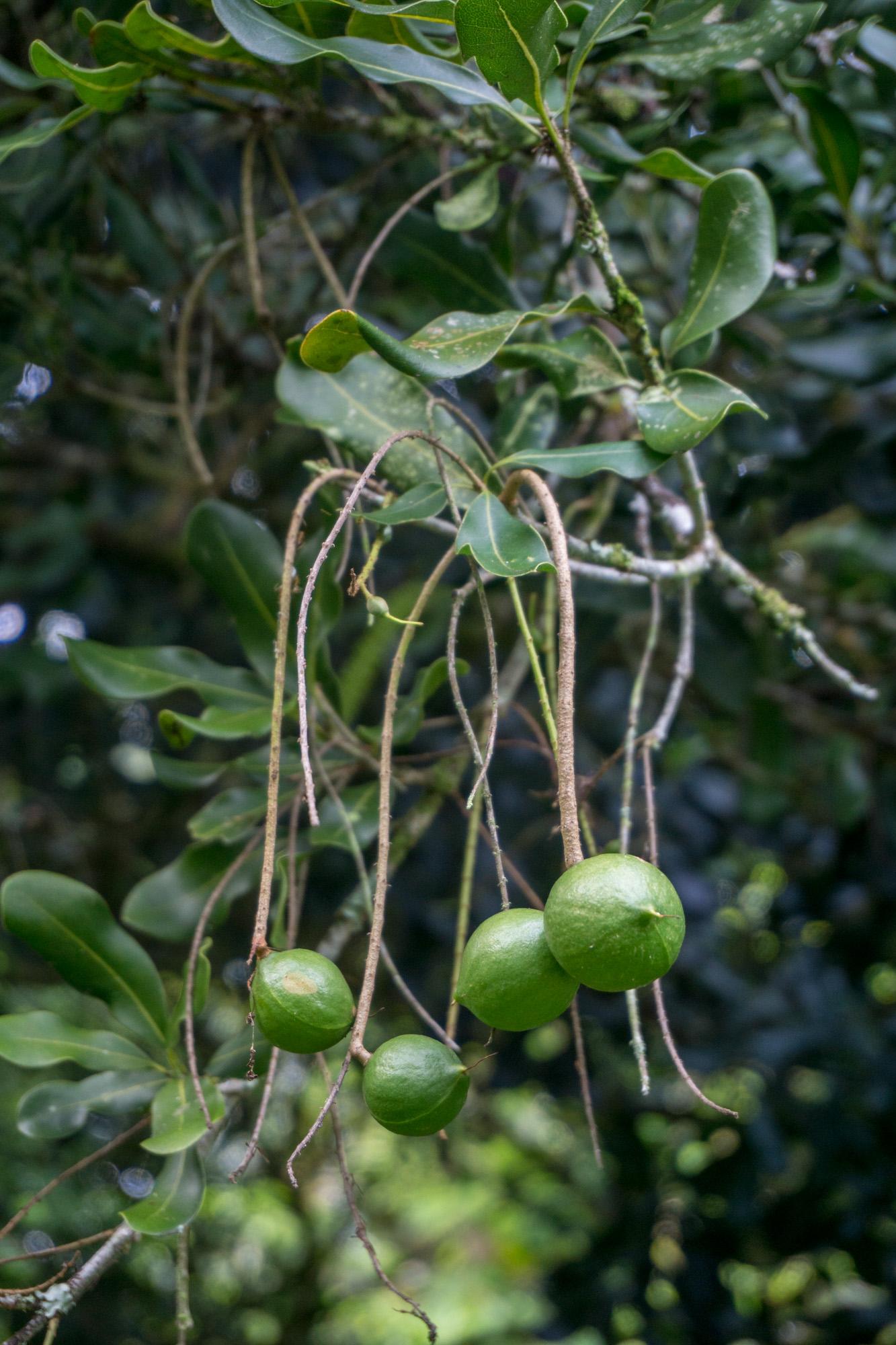 bio rohe macadamia