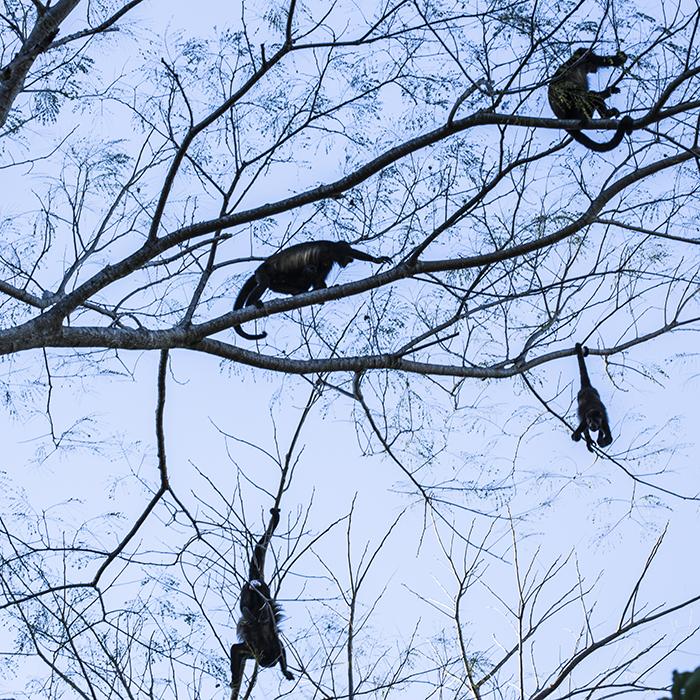 обезьяны играть на деревьях Коста-Рика