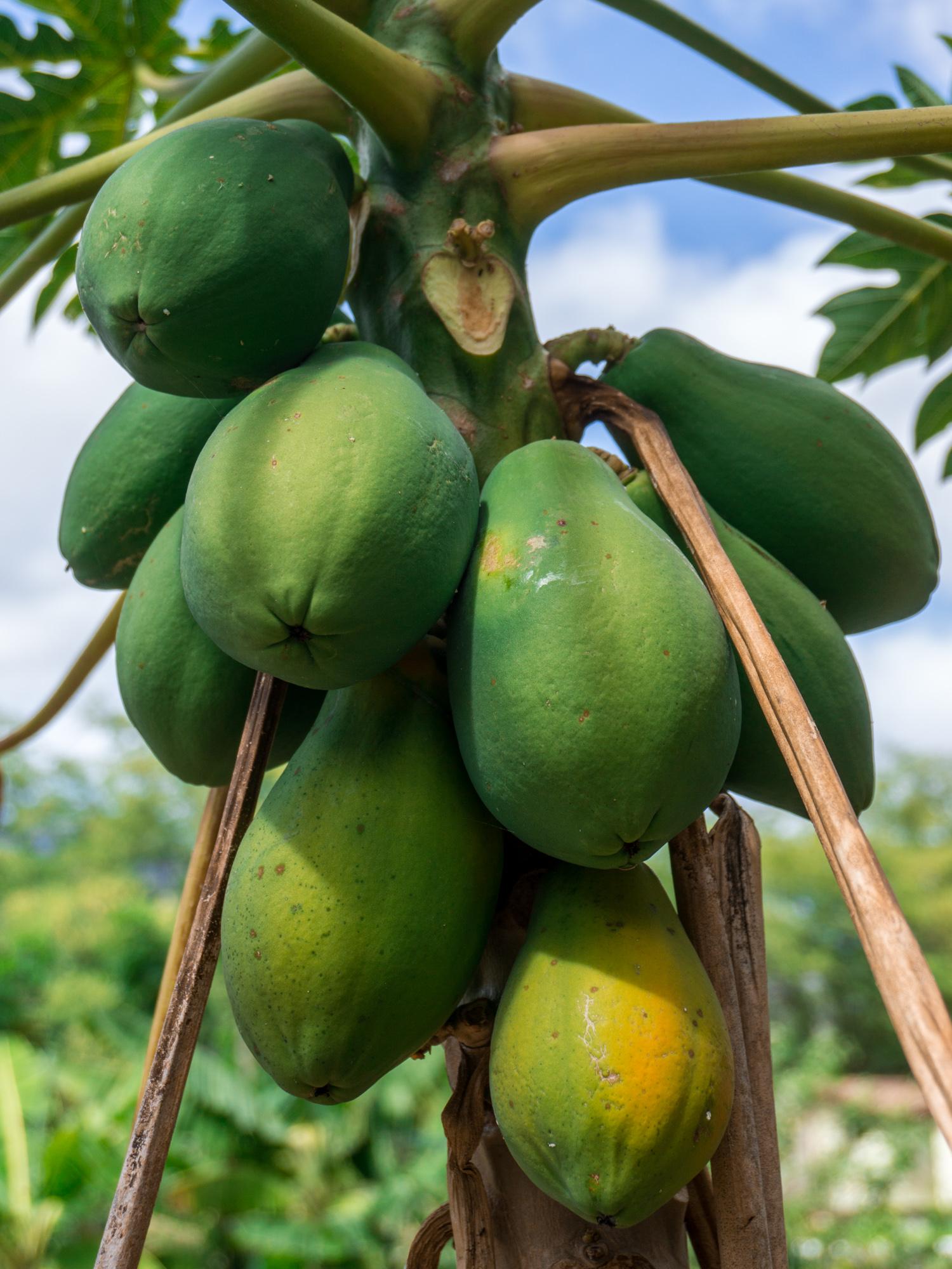 Dieser Papayasalat ist exotisch, frisch, lecker, roh und vegan. Wenn wir eine Grüne Papaya haben und Lust auf einen herzhaften und rohköstlichen Salat, machen wir dieses Rezept sehr gerne.