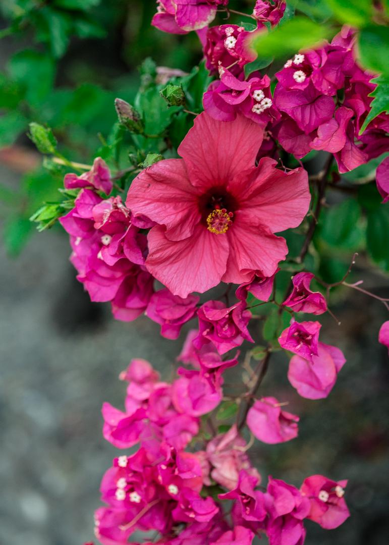 pink flowers in tenerife hibiscus_