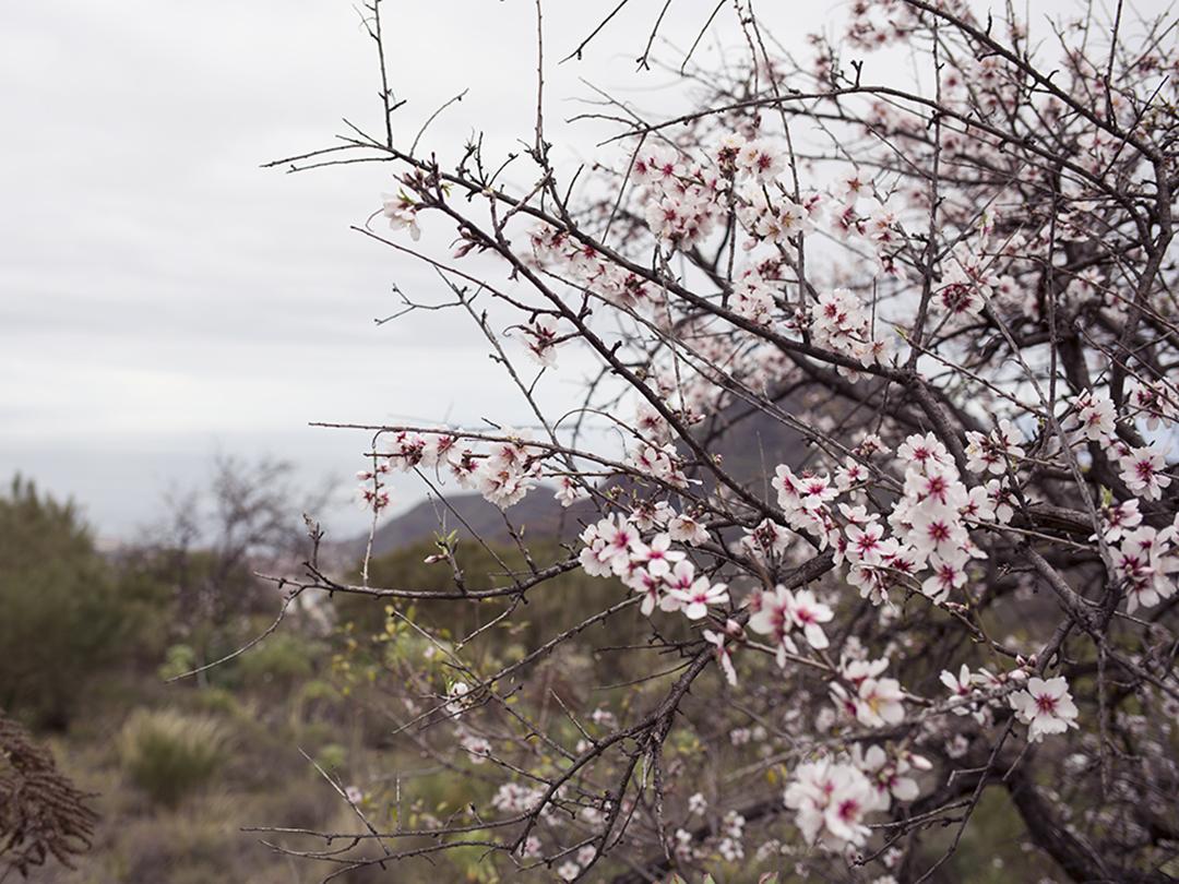 tenerife almond tree flowering