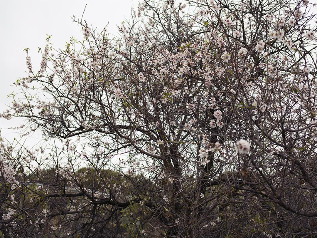 trees almond flowers tenerife