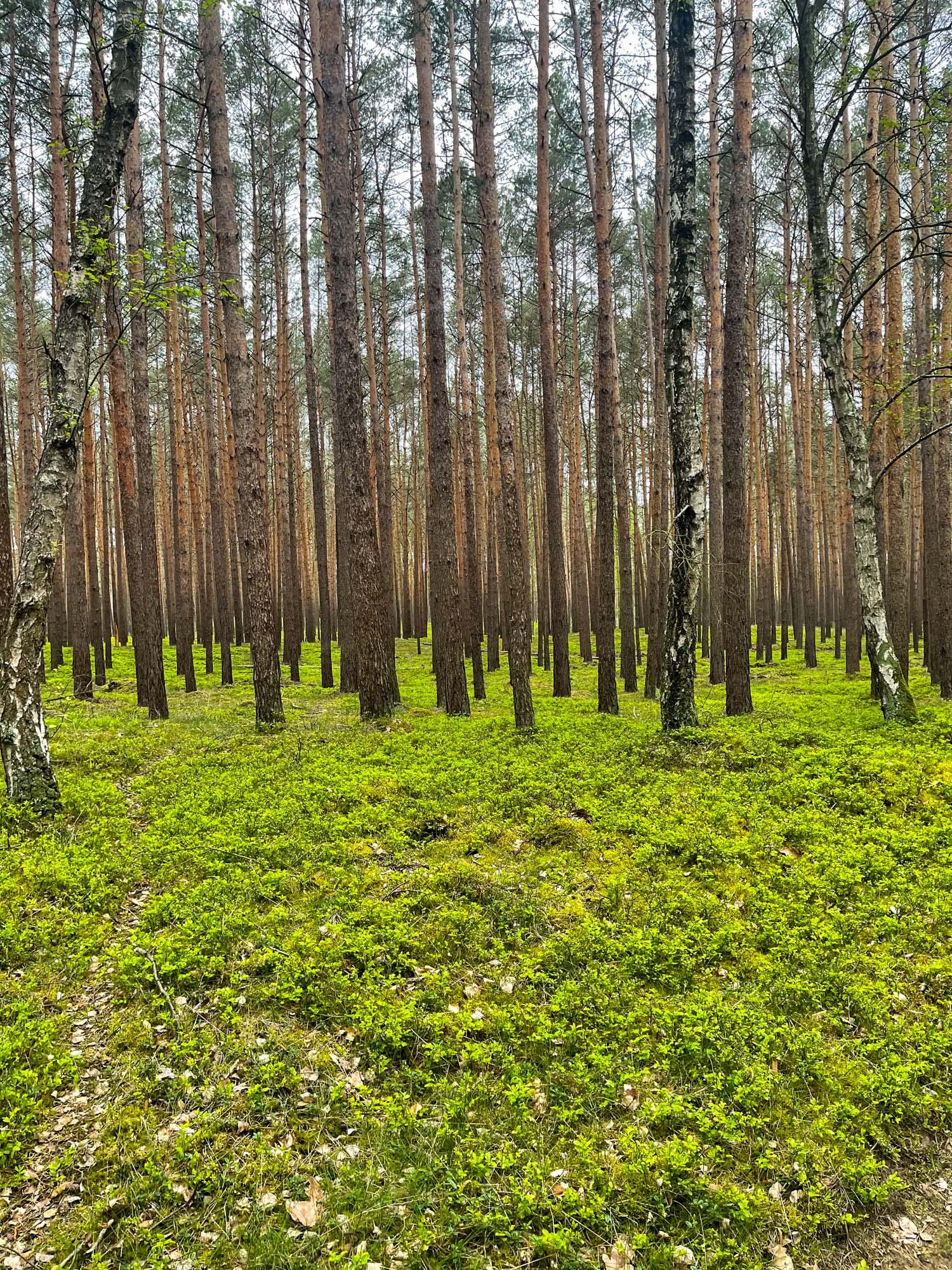 wilde Blaubeeren im Wald